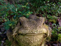 Toad in Bealtaine permaculture garden
