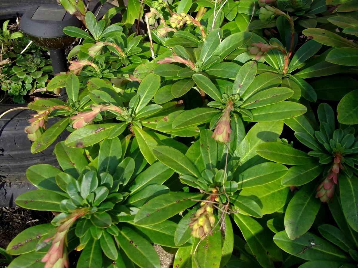Euphorbia at Bealtaine Cottage