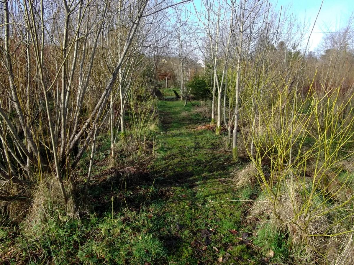 The Ash tree walk in the Bog Garden at Bealtaine Cottage February 2013