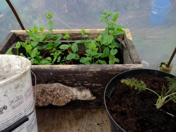 applemint in pots ready for planting out at Bealtaine Cottage