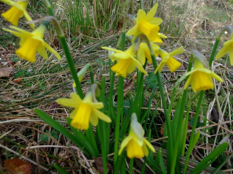 Daffodils dance in the light breeze
