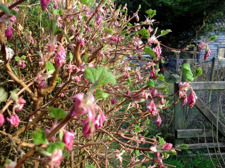 The heady scented flower droplets of Ribes at Bealtaine Cottage