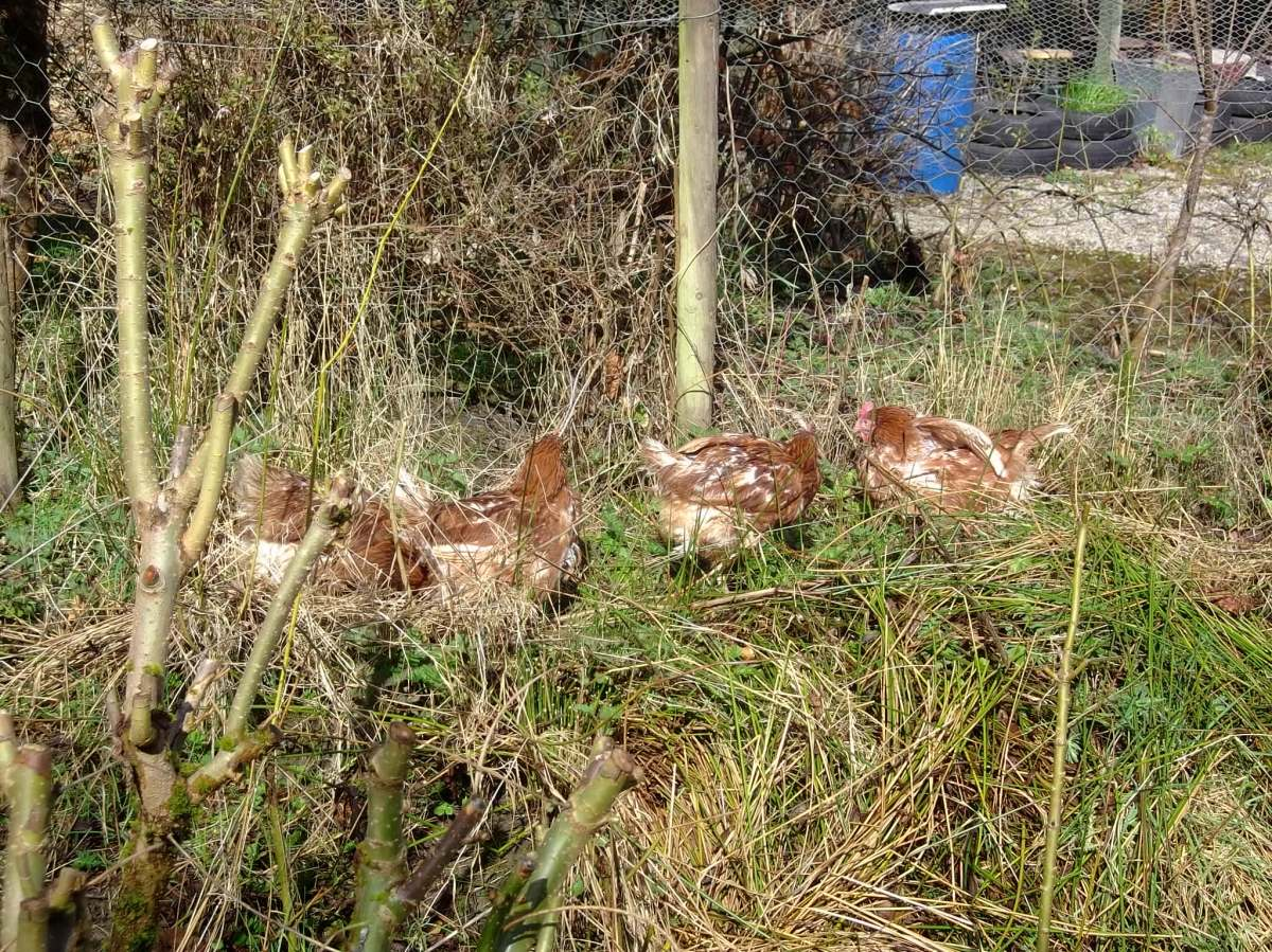 Hens in permaculture