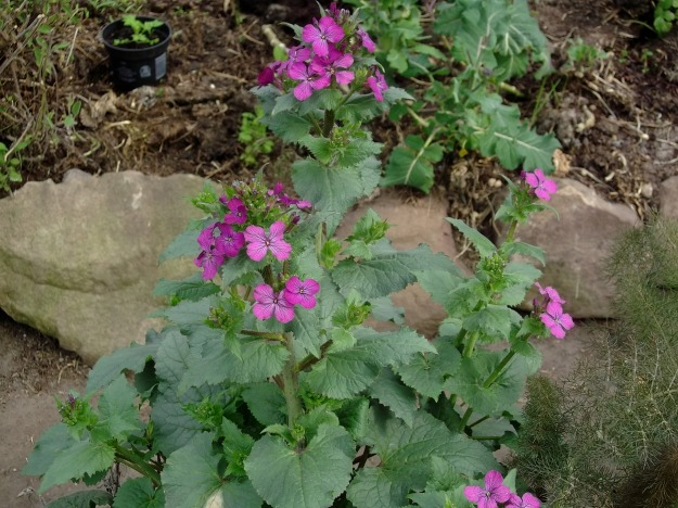 Lunaria, Honesty in the permaculture tunnel