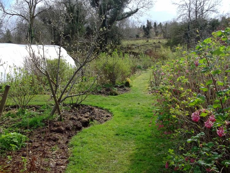 Apple trees in April in the permaculture gardens of Bealtaine Cottage