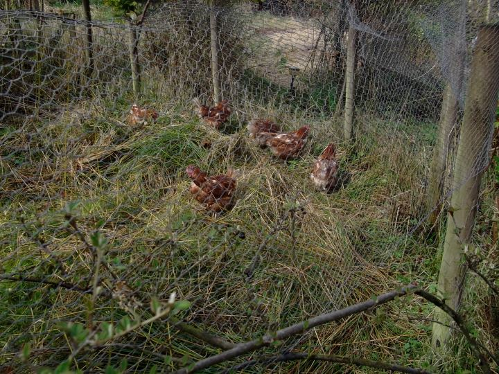 hens in the permaculture gardens of Bealtaine Cottage