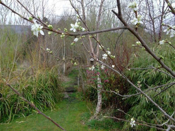 Buds on the Damson tree in the permaculture gardens