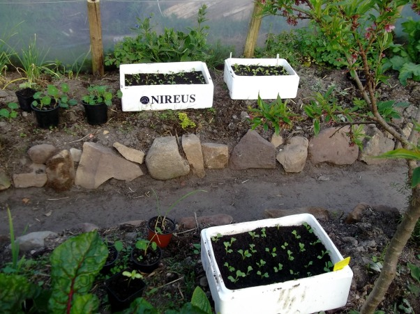 recycling fish boxes for seed grwoing in the tunnel at Bealtaine Cottage