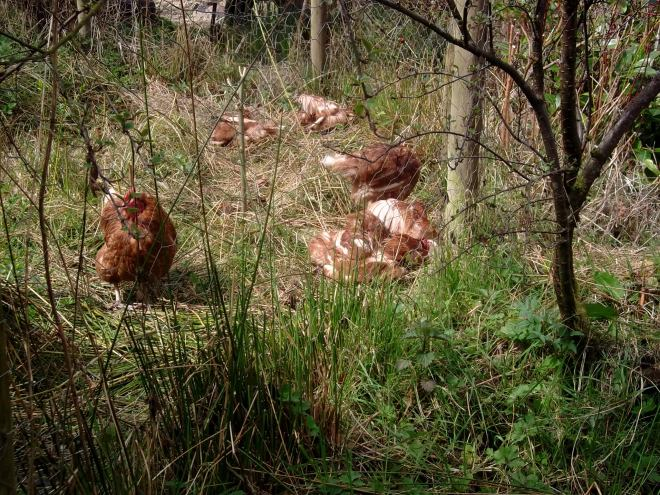 Hens in the permaculture gardens