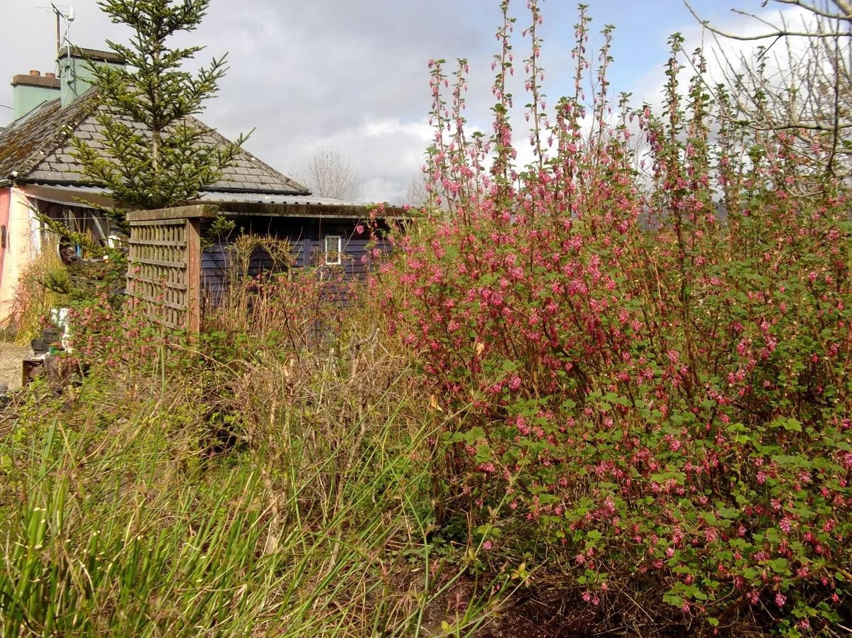 Flowering Currant at Bealtaine Cottage