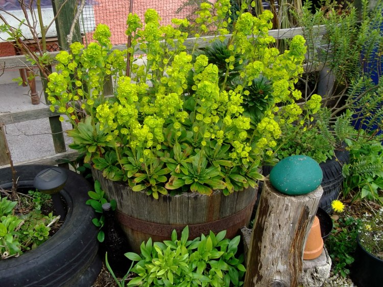 Euphorbia in a barrel