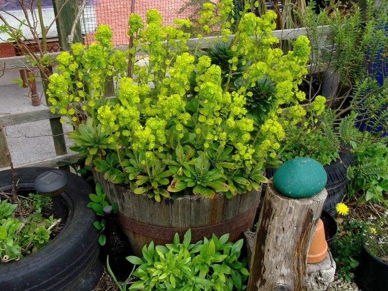 Euphorbia in a barrel