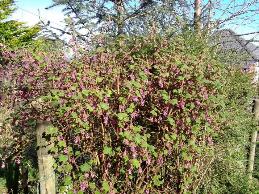 Ribes in bloom at Bealtaine Cottage, great for the bees!e