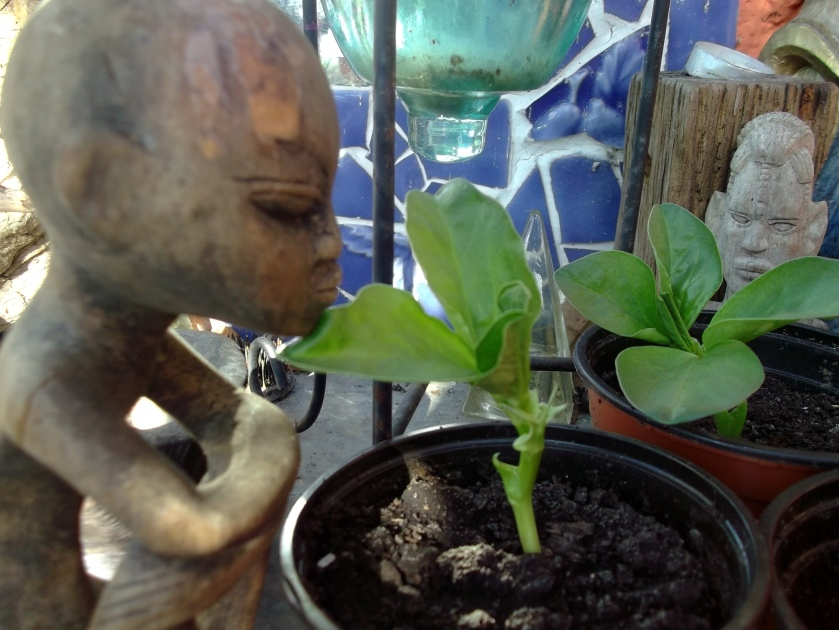 Broad Beans at Bealtaine Cottage
