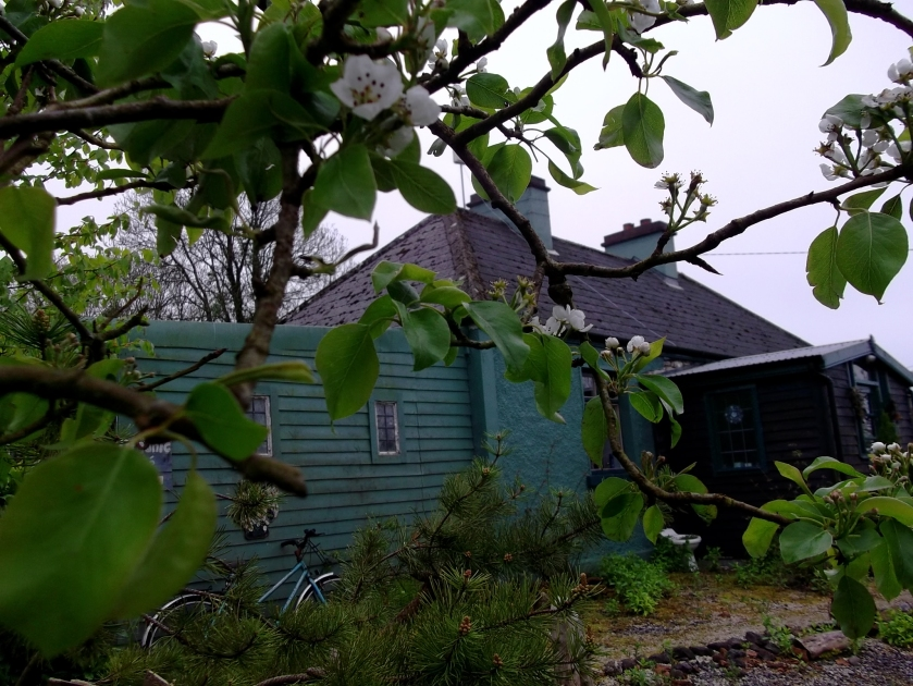 Pear blossom in the permaculture gardens