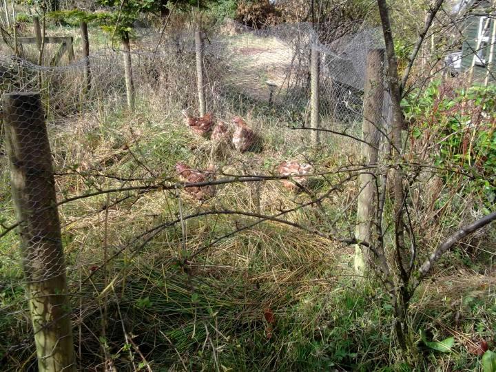 hens in the permaculture garden