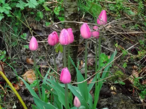 Pink tulips at Bealtaine Cottage