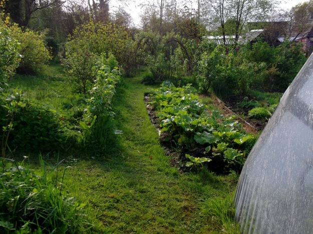 Rhubarb and Blackcurrants near the herb garden at Bealtaine Cottage