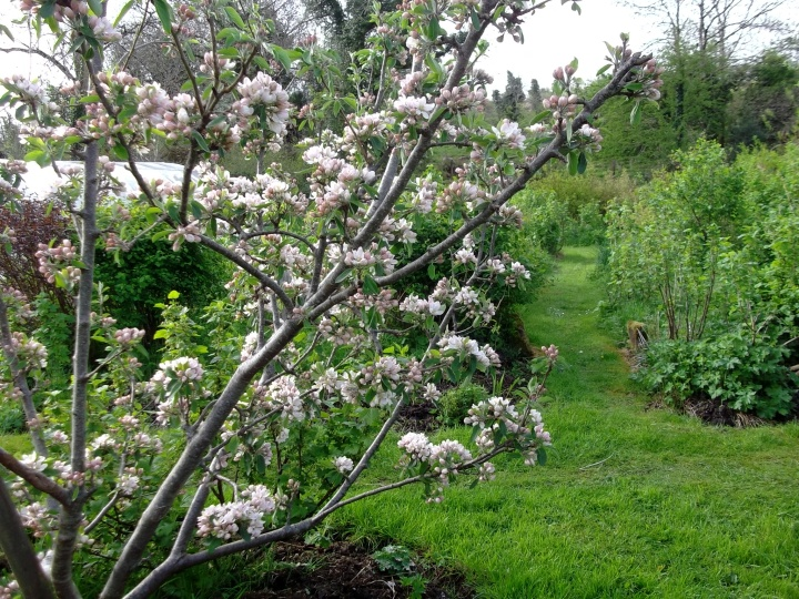apple trees in blossom at Bealtaine Cottage
