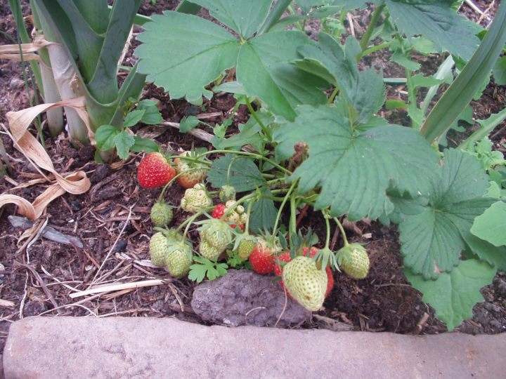 strawberries in the tunnel at Bealtaine Cottage