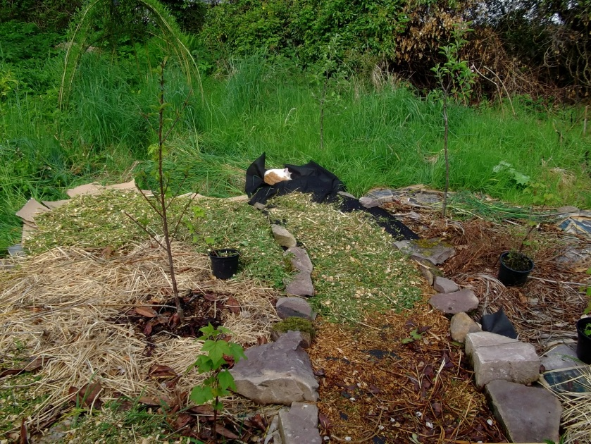 mulching the orchard