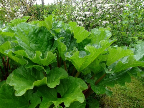 Rhubarb in the permaculture gardens...pure abundance!