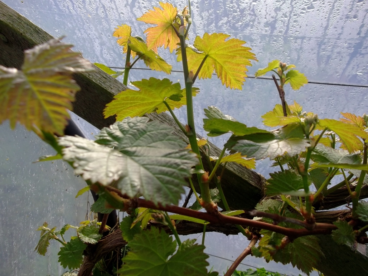 Grapevine in the polytunnel