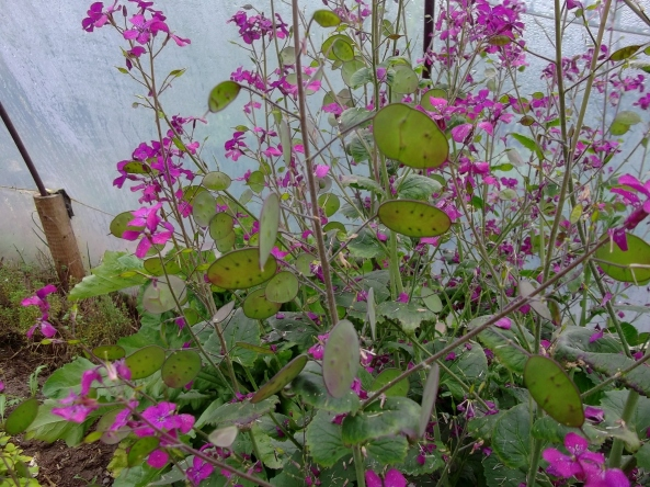 lots of seed to be harvested from the Lunaria later in the summer