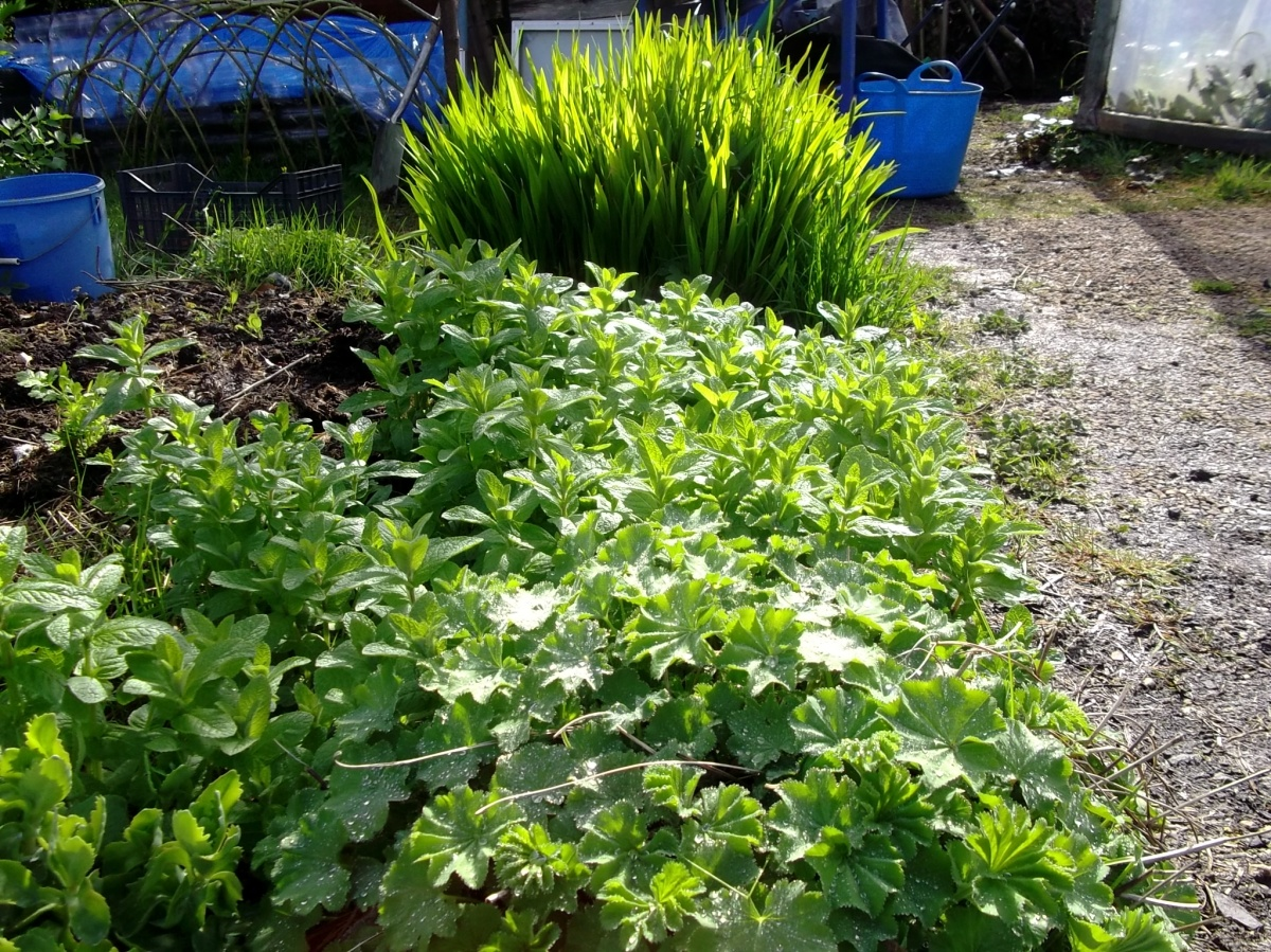 Applemint, Lady's Mantle and Crocosmia