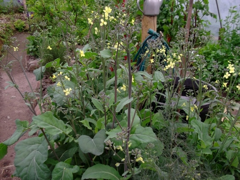 Broccoli in flower in the tunnel...seed to come and share!