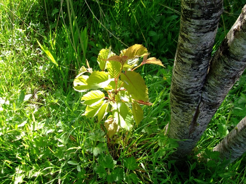 A Cherry seed grows by an Oak tree at Bealtaine Cottage