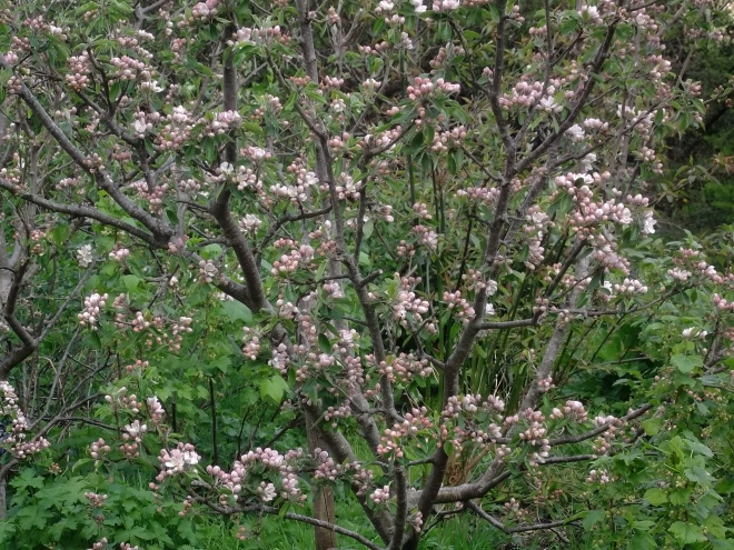 Apple trees in blossom at Bealtaine Cottage permaculture orchard