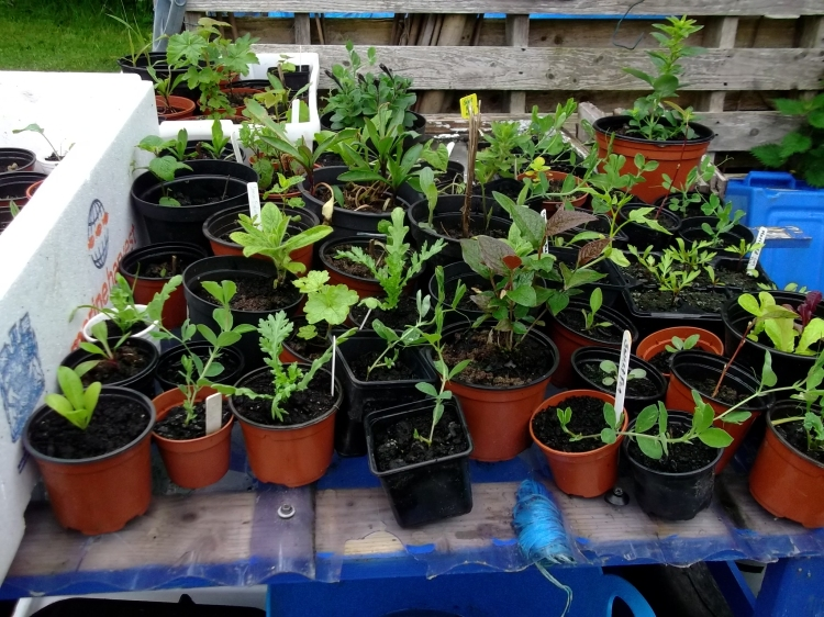 seedlings in pots in the permaculture gardens