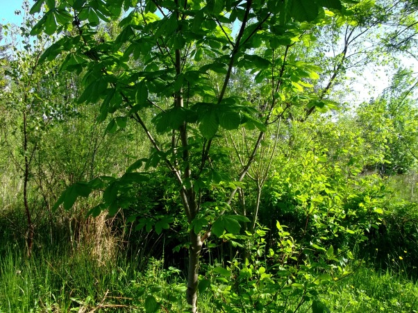 Young Chestnut tree at Bealtaine Cottage Permaculture Gardens