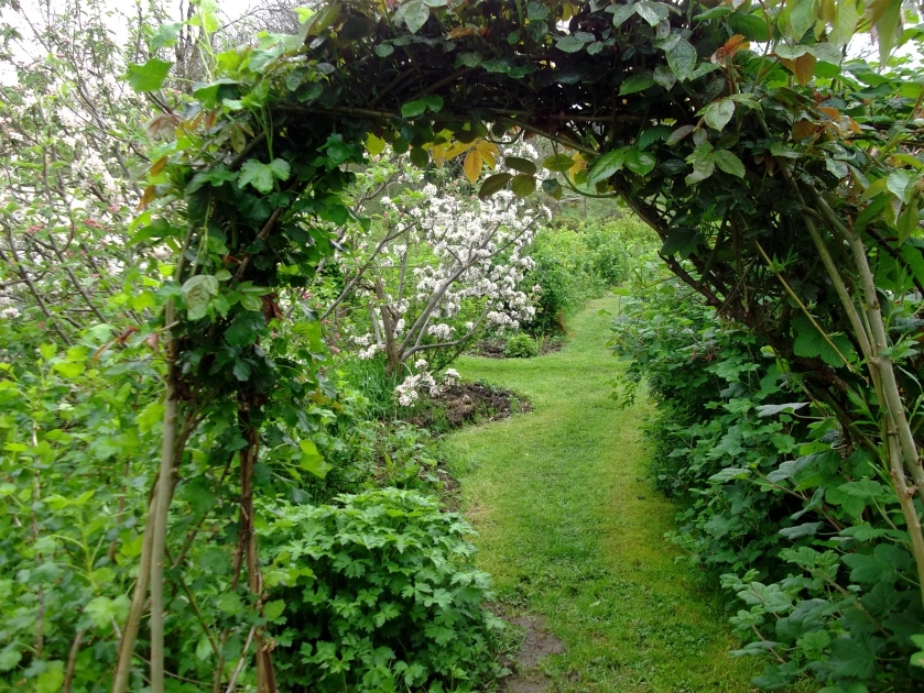 Roses,Willow and Jostaberry combine to make an edible archway in the edible gardens