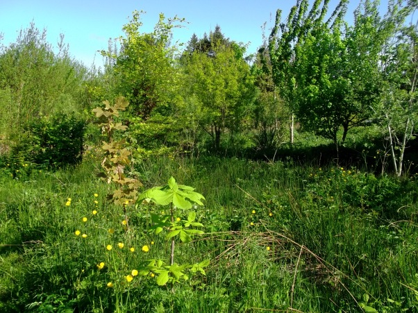Chestnut and Sycamore saplings at bealtaine Cottage Permaculture Gardens