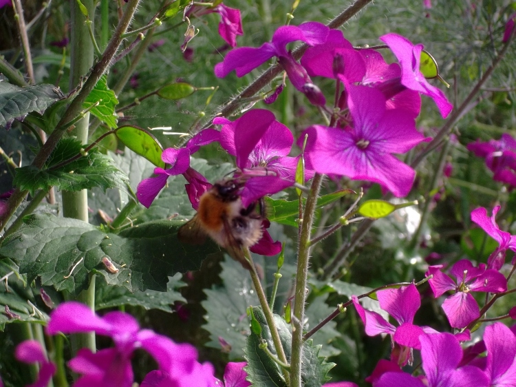 Lunaria at Bealtaine Cottage