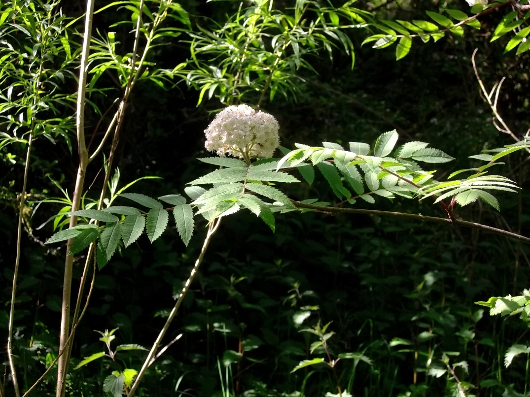 Blossom on a Rowan tree planted in the Fairy Wood at Bealtaine Cottage