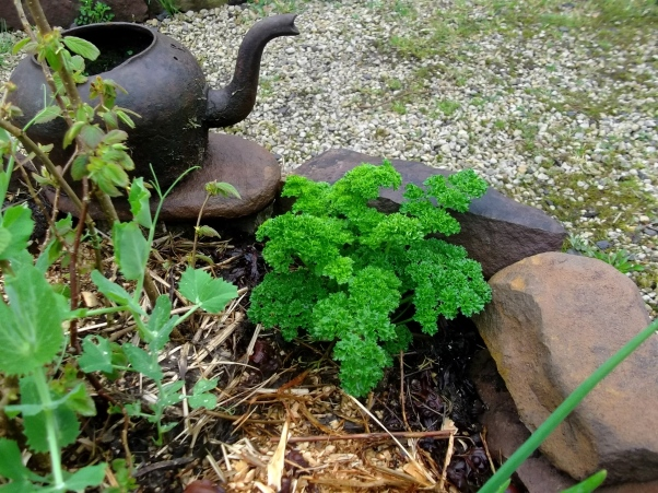 Parsley growing at Bealtaine Cottage beside old iron kettle