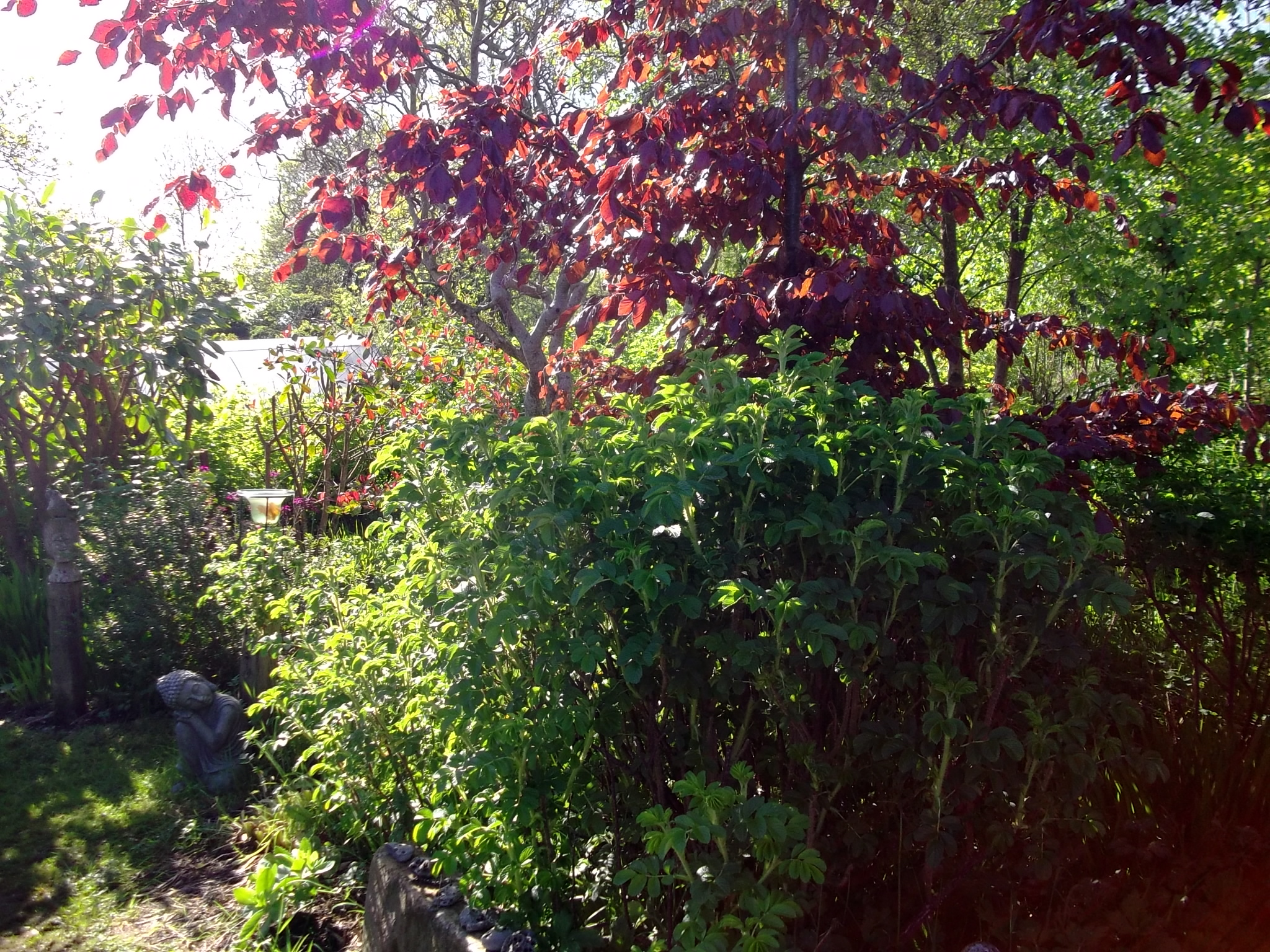 A Copper Beech and wild rose at Bealtaine Cottage