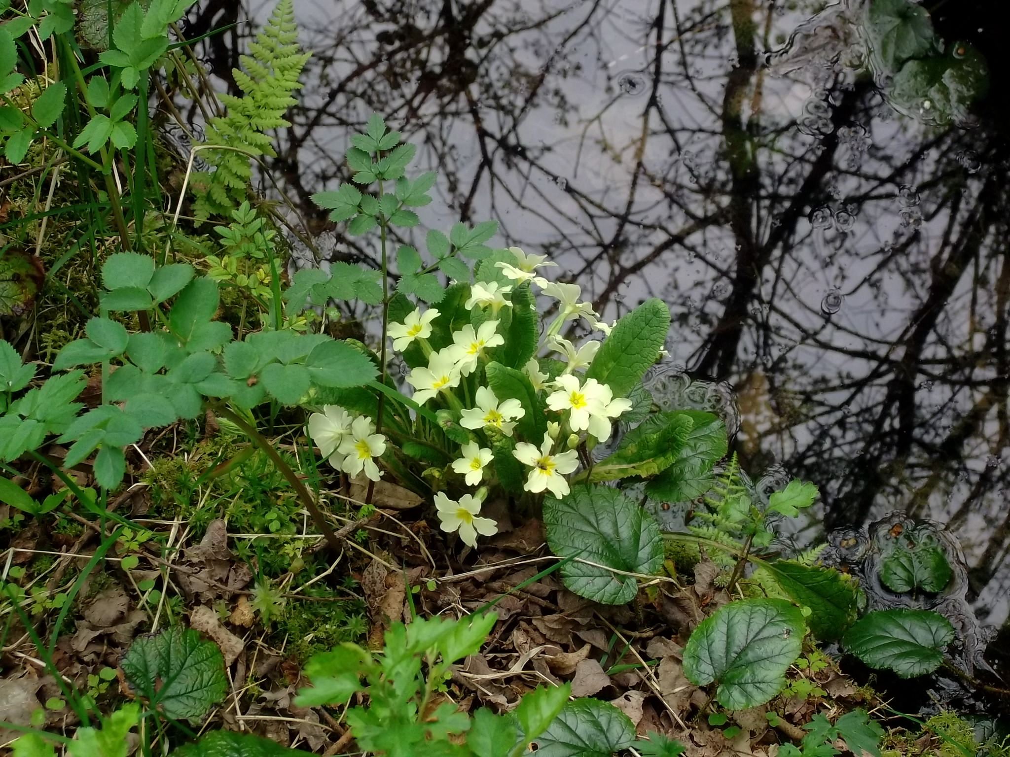 Primroses at the Spring Well in the Fairy Wood at Bealtaine Cottage Permaculture Gardens