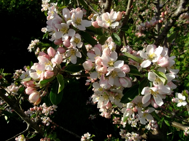 Apple blossom at Bealtaine Cottage