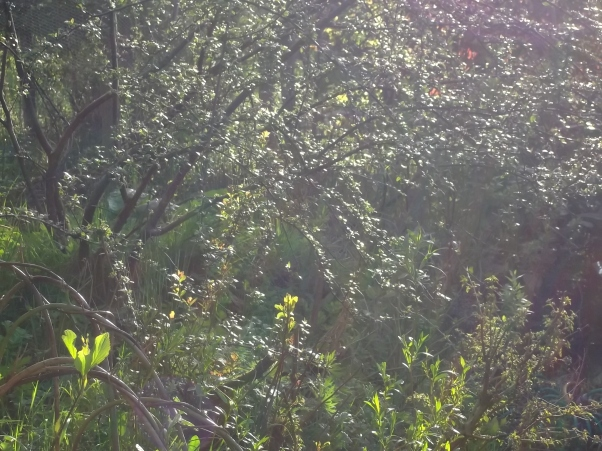 Cotoneaster caught in the glare of the evening sun in the permaculture gardens at Bealtaine Cottage