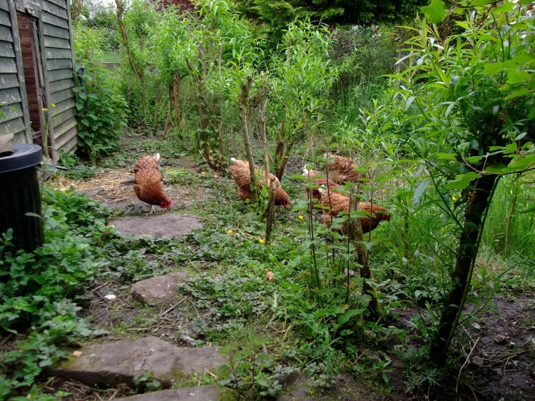 hens at Bealtaine Cottage