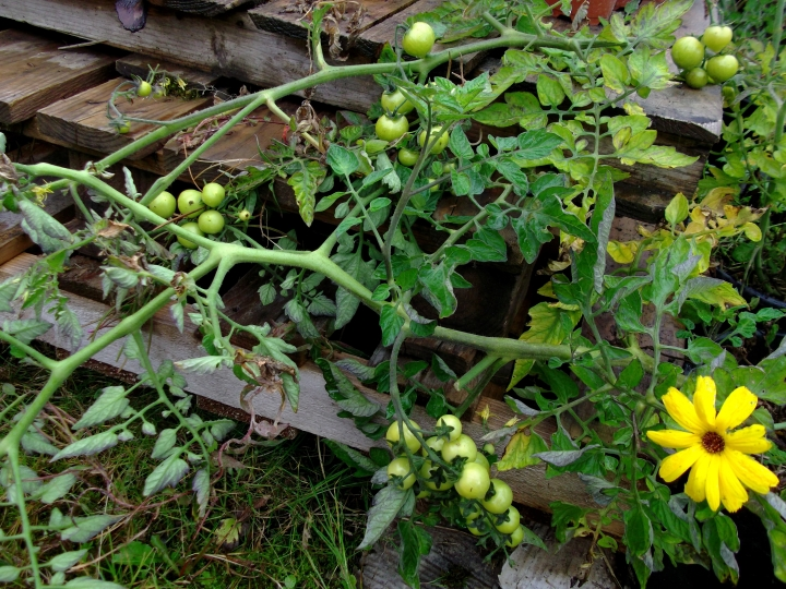 Tomatoes at Bealtaine Cottage