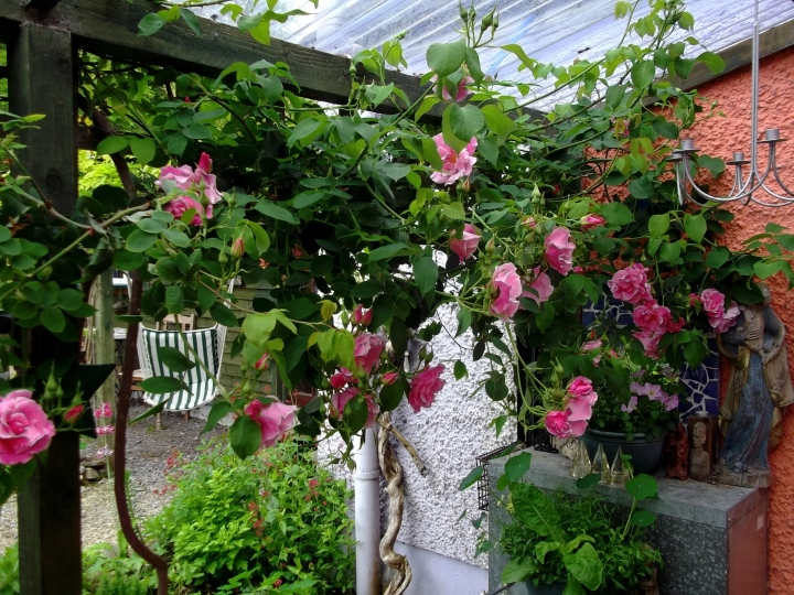 Roses on the veranda at Bealtaine Copttage in June 2013