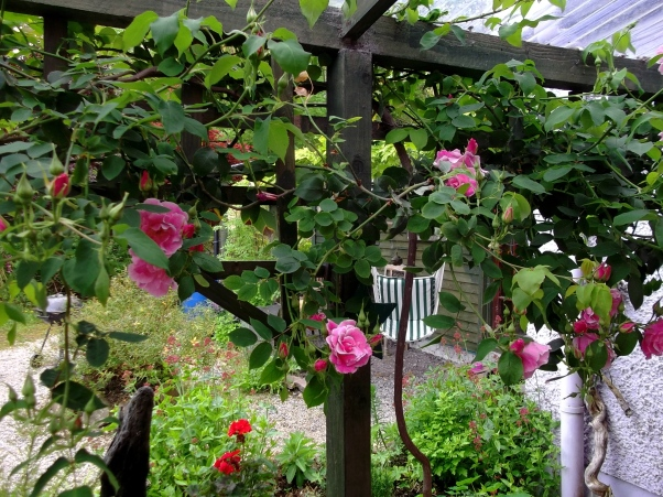 Roses at Bealtaine in June 2013
