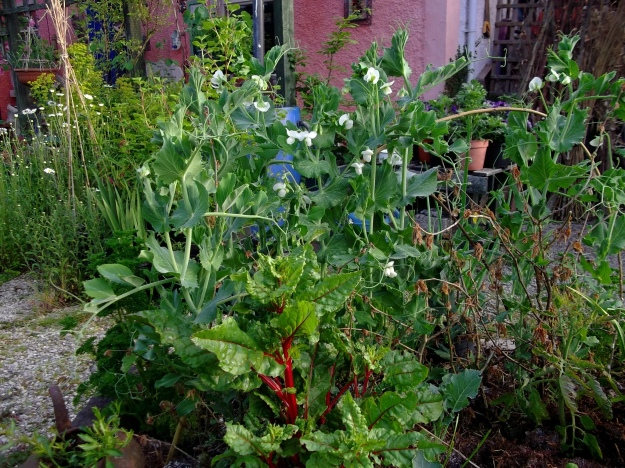 Pea flowers at Bealtaine Cottage