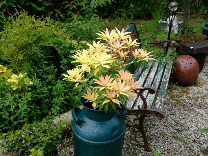 Pieris in an old bottom-less milk churn at Bealtaine Cottage