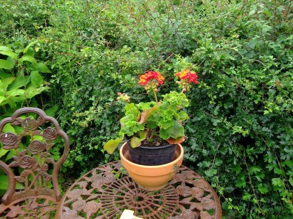 perlagonium in a pot at Bealtaine Cottage